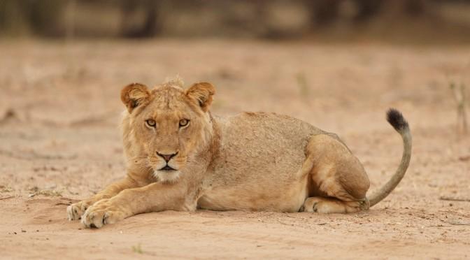 Zimbabwe, Mana pools, lions et lionnes